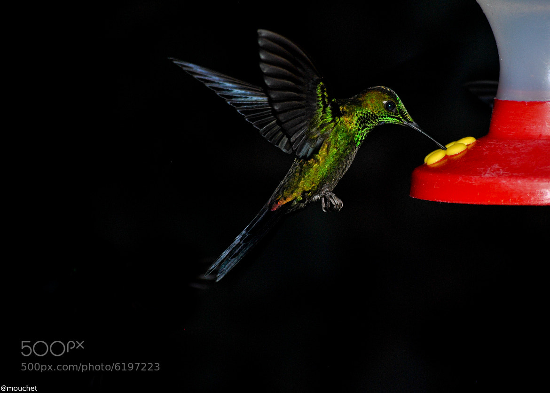 Photograph Colibri by Antonio Mouchet on 500px