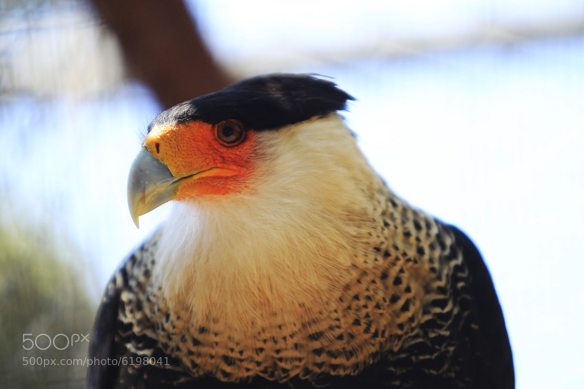 Photograph hawk with white collar and crest by Cristobal Garciaferro Rubio on 500px