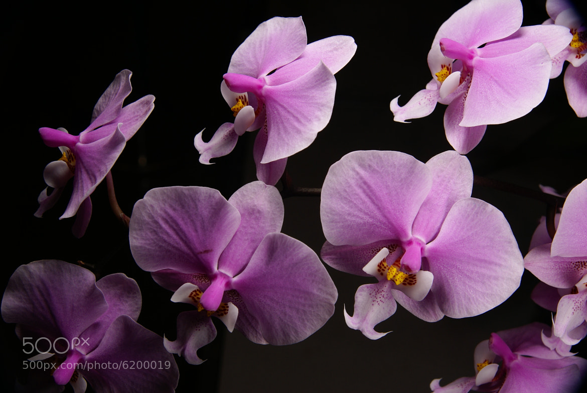 Photograph Orchid by zhenglin ( 政霖 ) guo ( 郭 ) on 500px