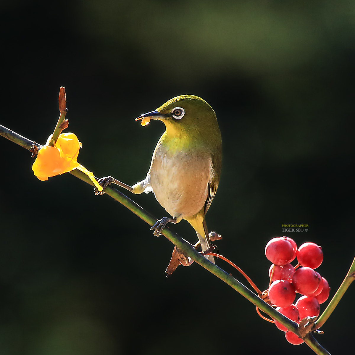 Photograph Japanese white-eye by Tiger Seo on 500px