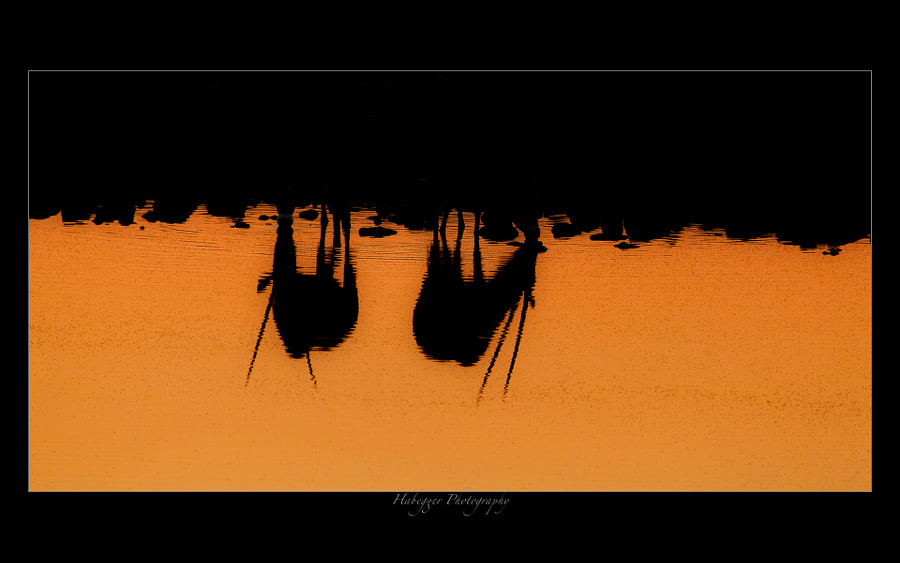 two oryx drinking during sunset at okaukuejo waterhole