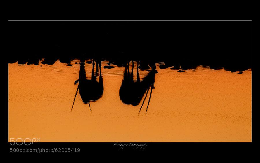 two oryx drinking during sunset at okaukuejo waterhole