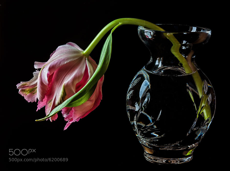 Photograph Tulip in Vase by Bob Duff on 500px
