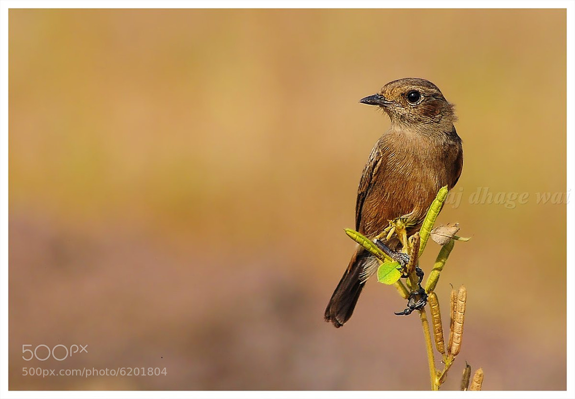 Photograph Pied Bushchat female by raj dhage on 500px