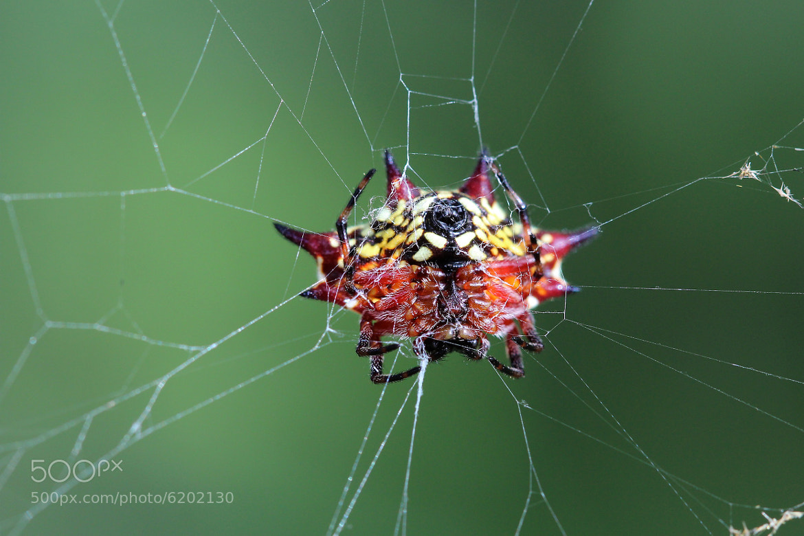 Photograph Crab Spider by elmaS mac. on 500px