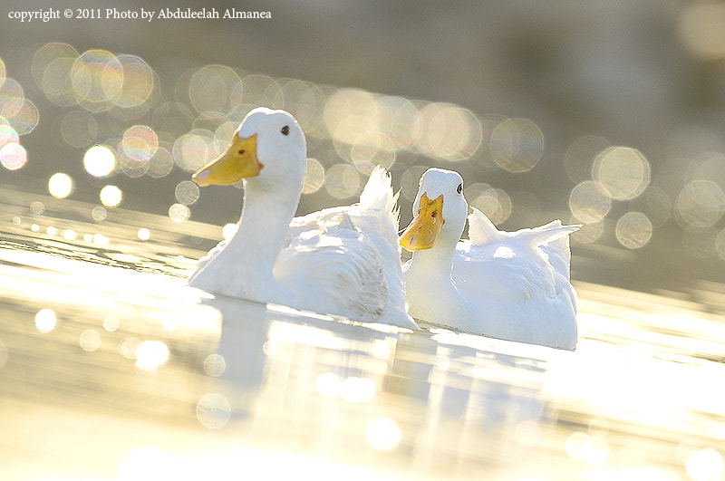 Photograph Duck by Abduleelah Al-manea on 500px