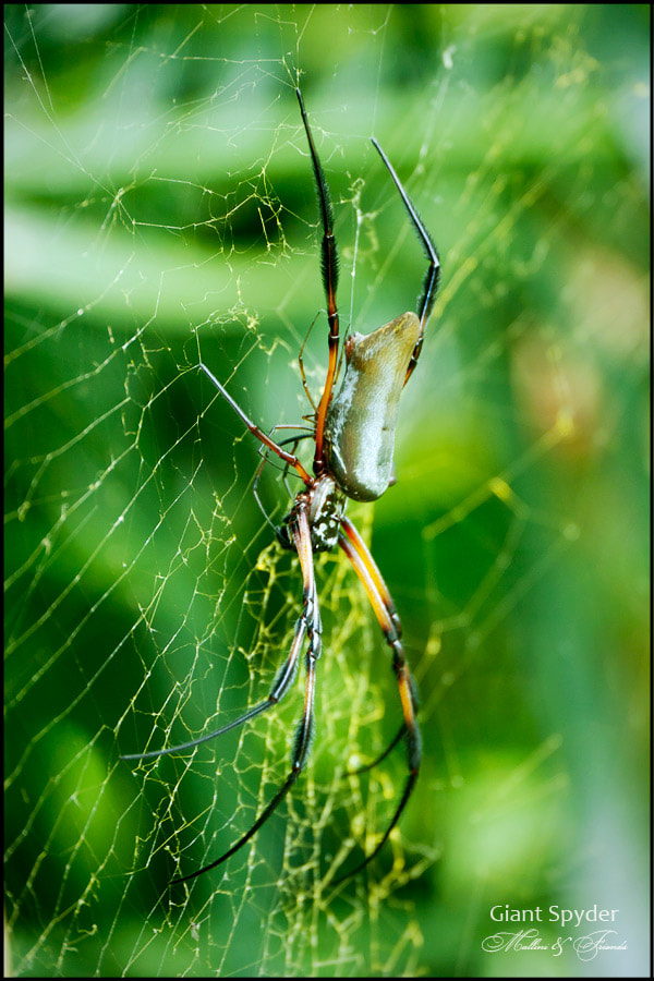 Photograph Giant Spyder by Igor M on 500px