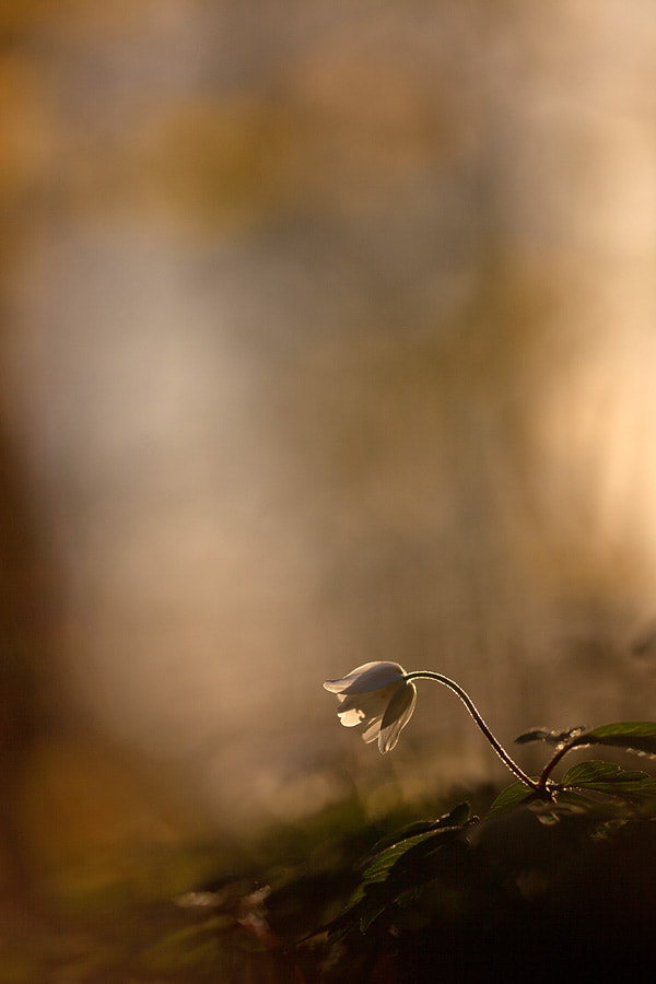 Photograph Wood anemone by Johannes Klapwijk on 500px