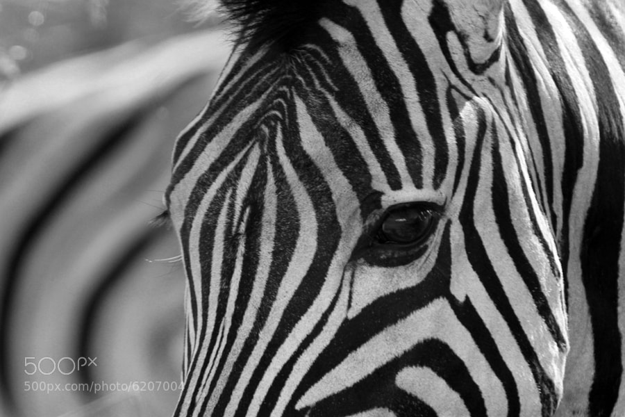 Photograph Zebra eye  - Südafrika by Benjamin Nocke on 500px