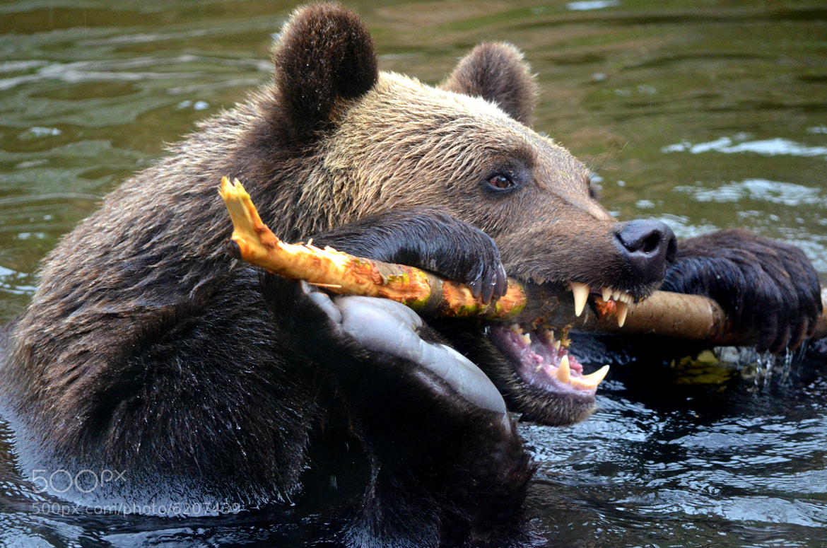 Photograph Brown bear biting branch by Christophe BERTRAND on 500px