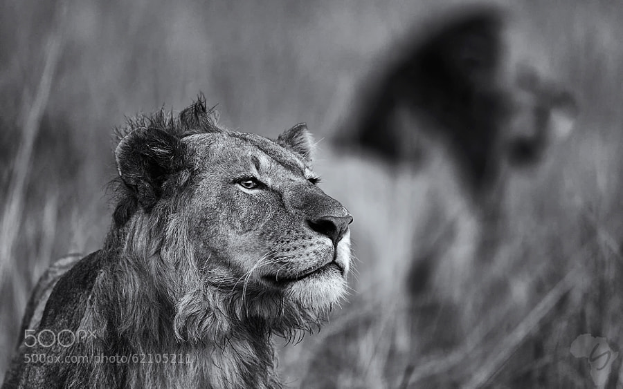 Photograph Mara lions - bw collection by Stephan Tuengler on 500px