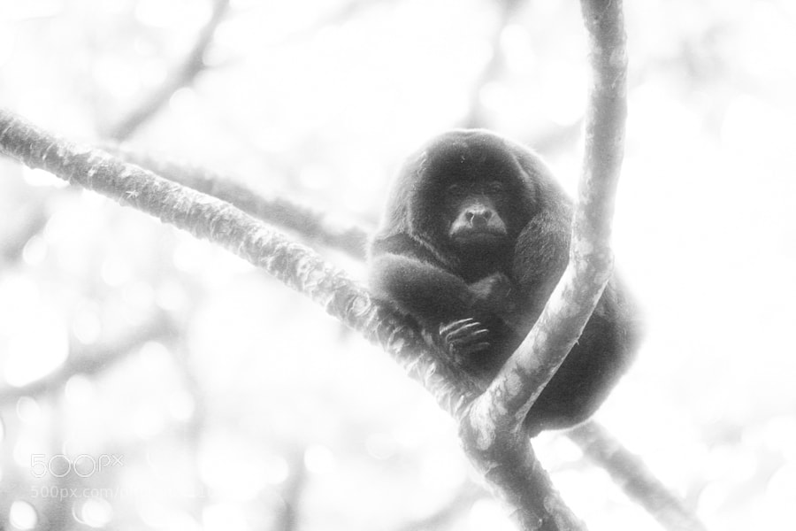 A howler monkey who was trying to keep warm on a misty, rain-filled day.