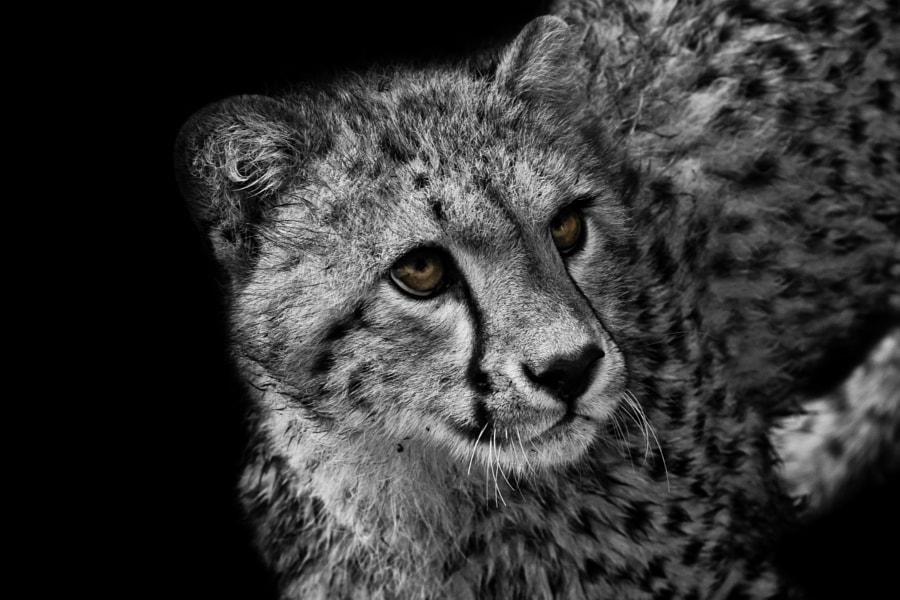 Baby cheetah II
