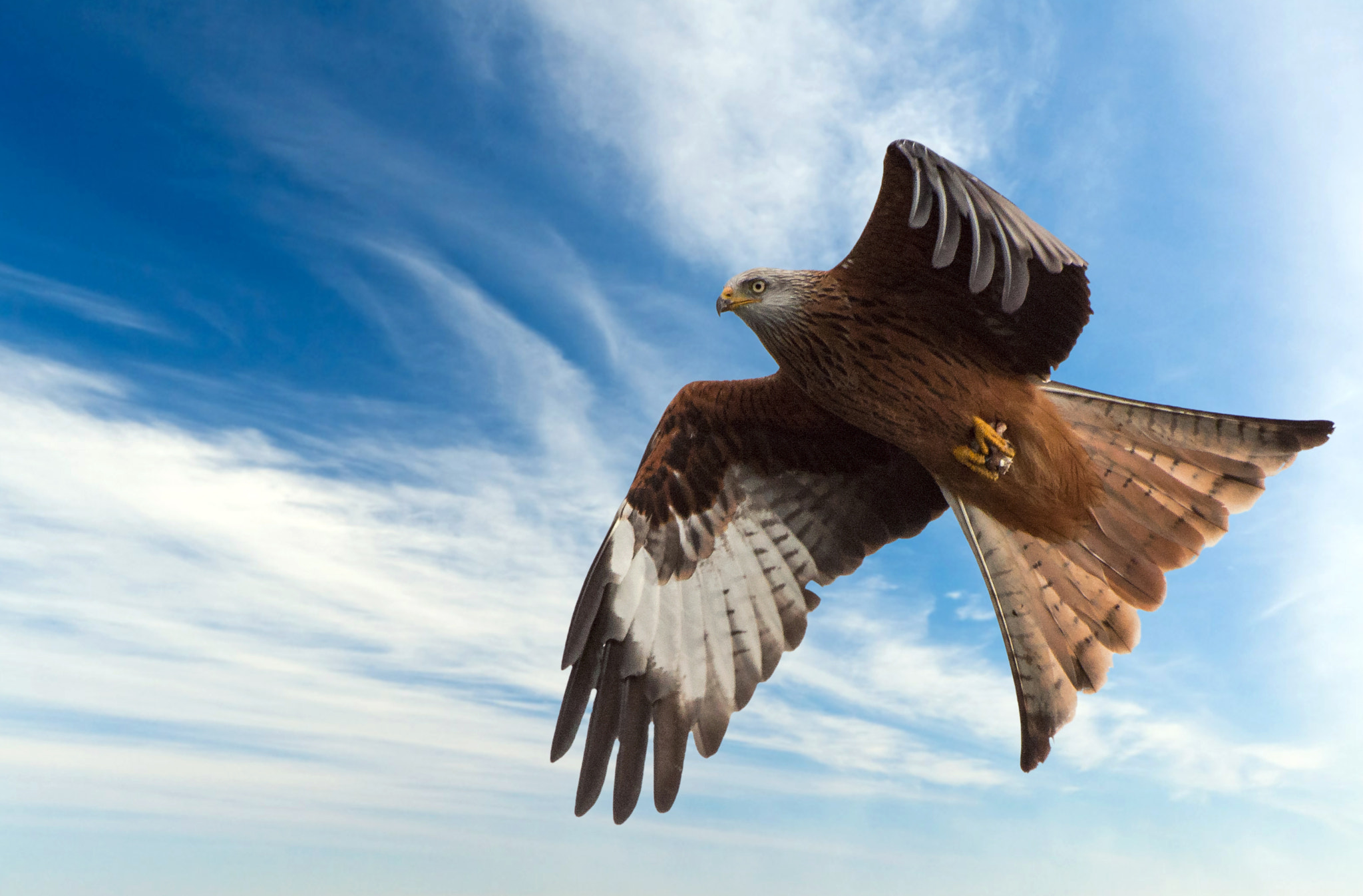Photograph Red Kite by Howie Mudge on 500px