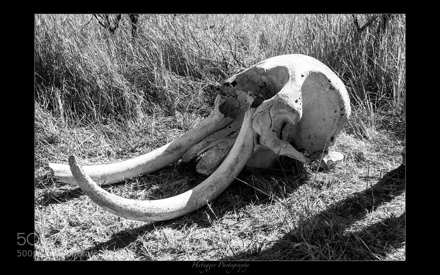 skull of an elephant, okavango delta, botswana
