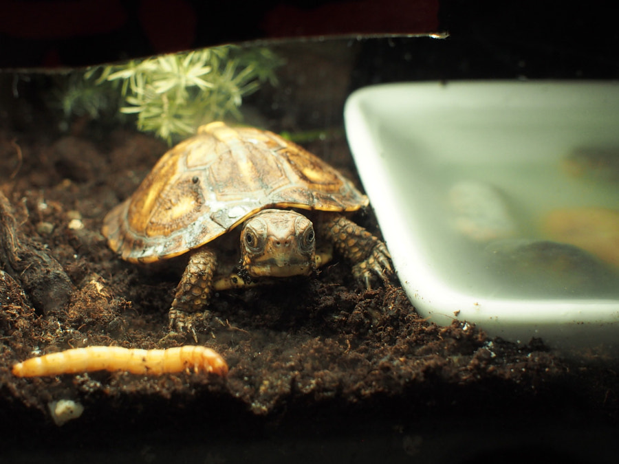 Eastern boxed turtle by easy model on 500px.com