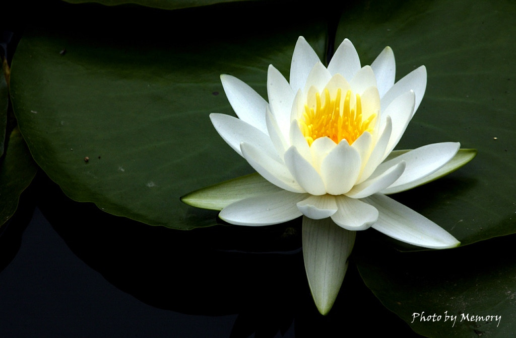 Photograph Lotus by Junhyung Chun on 500px