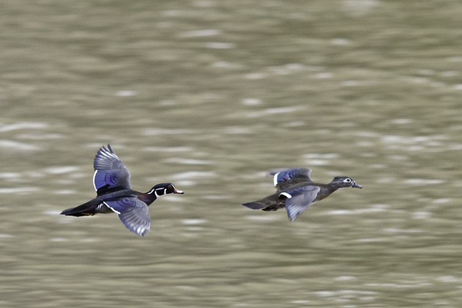 Photograph Flight of the Wood Ducks by George Gibbs on 500px