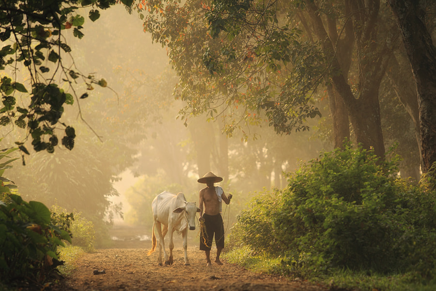Photograph old farmer and his cow by taufik sudjatnika on 500px