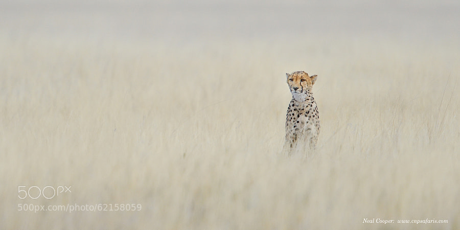 Photograph Cheetah by Neal Cooper on 500px