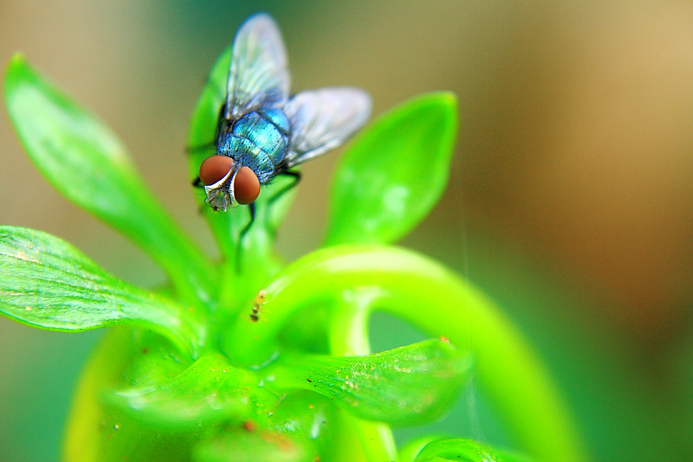 Photograph Housefly at a restaurant by Aaron Joseph on 500px