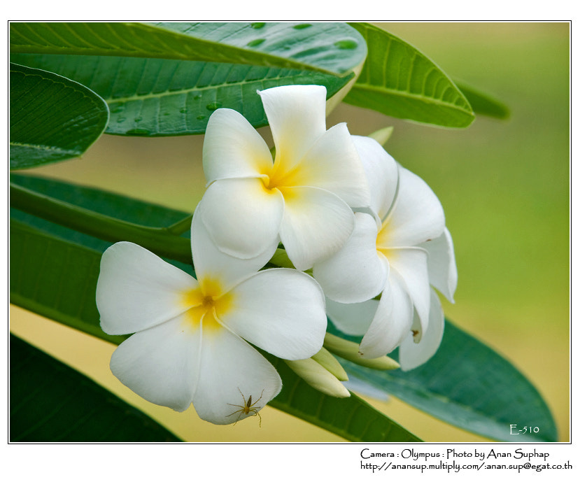 Photograph ดอกลั่นทม(Plumeria) by Anan Suphap on 500px