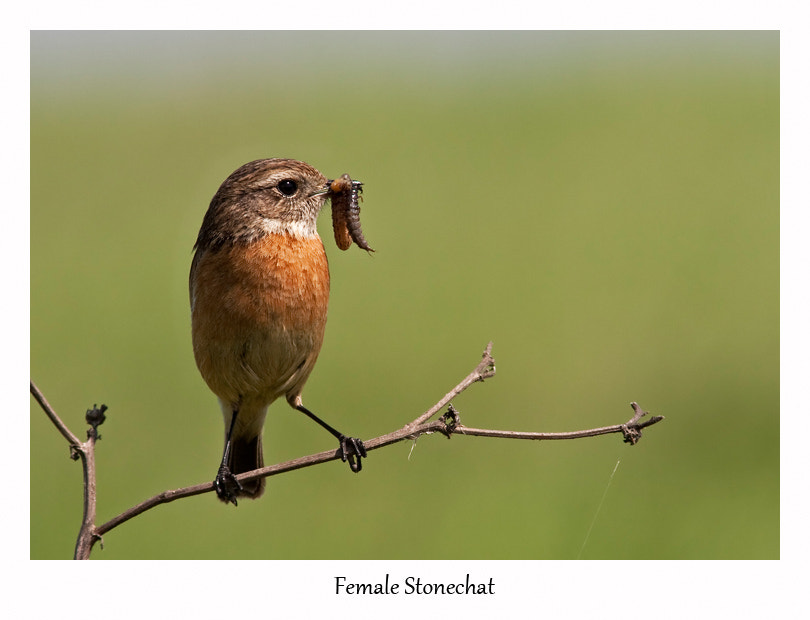 Photograph Female Stonechat by Lea Roberts on 500px