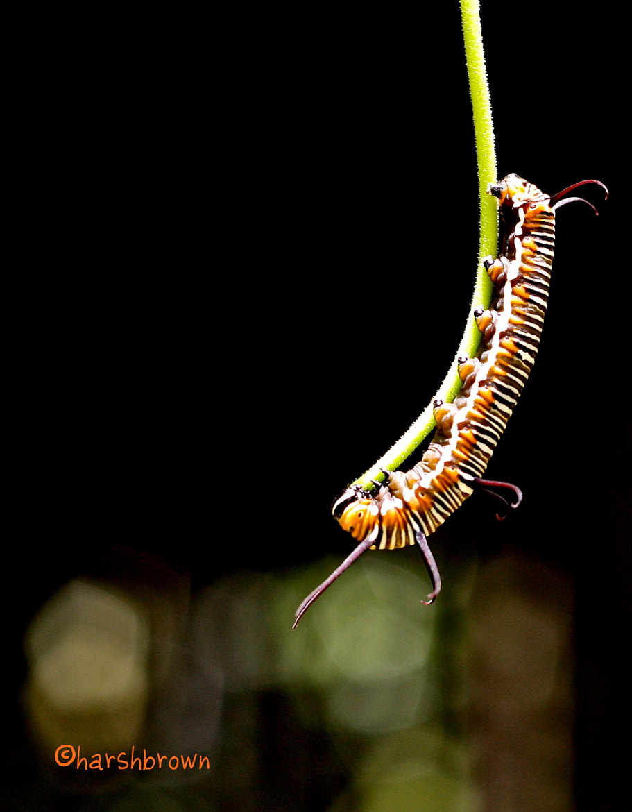 Photograph Caterpillar Hanging On by Harsh Brown on 500px