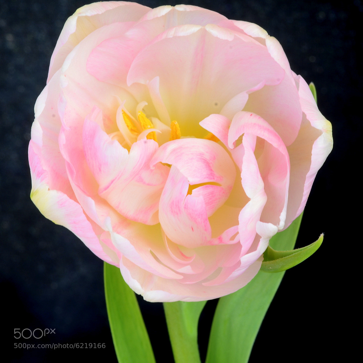 Photograph Tulip_Double_Pink_2594 by Philippe Arpels on 500px