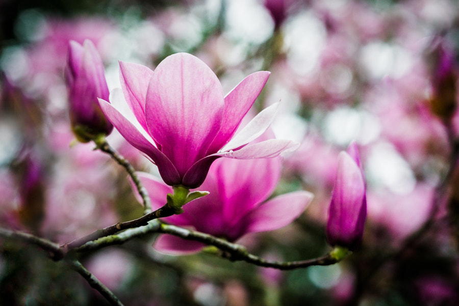 Tulip Tree by Steven Blackmon on 500px.com