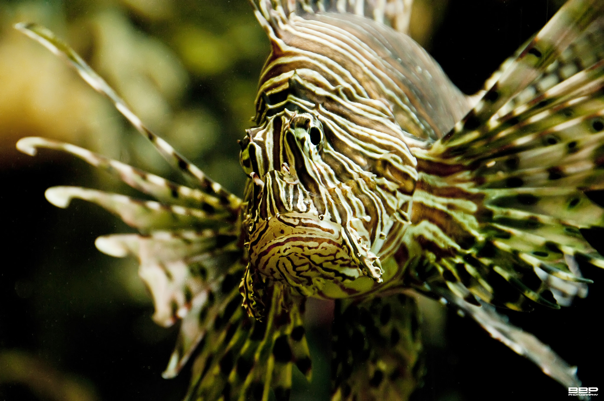 Photograph Lionsfish by Bert Broers on 500px