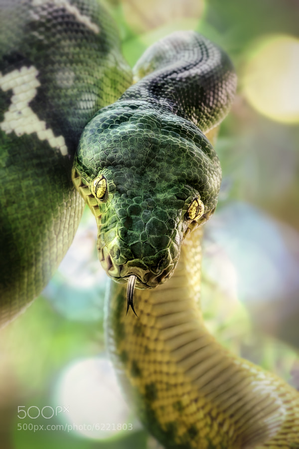 Photograph Emerald Tree Boa by Manuela Kulpa on 500px