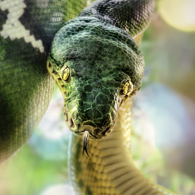 Emerald Tree Boa by Manuela Kulpa (erblicken)) on 500px.com