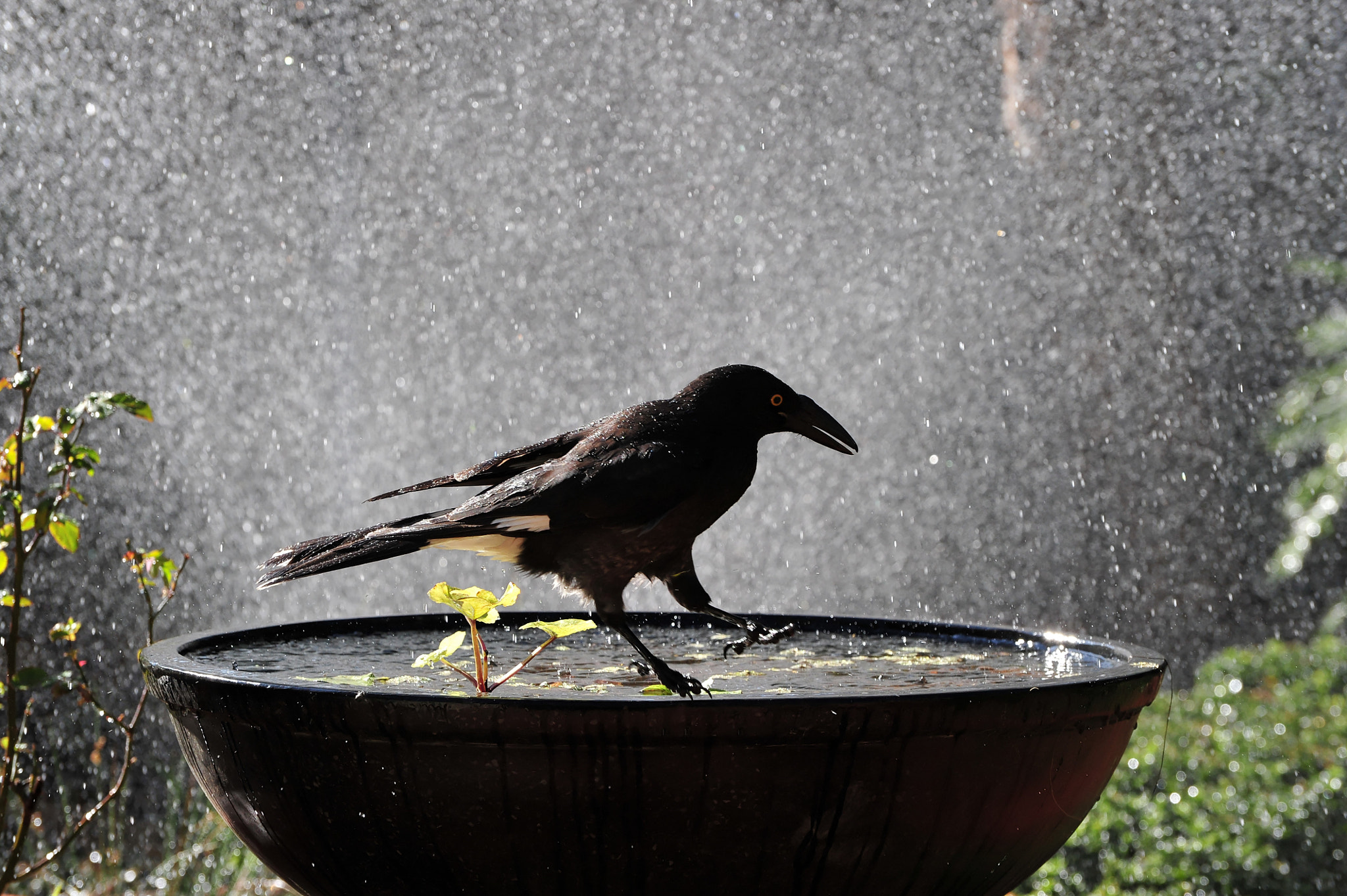 Photograph Currawong by Bryan Cossart on 500px