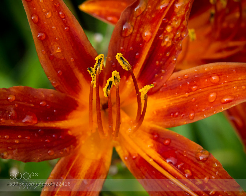 Photograph Common Orange Lily by Sean Phillips | Riverwood Photography on 500px