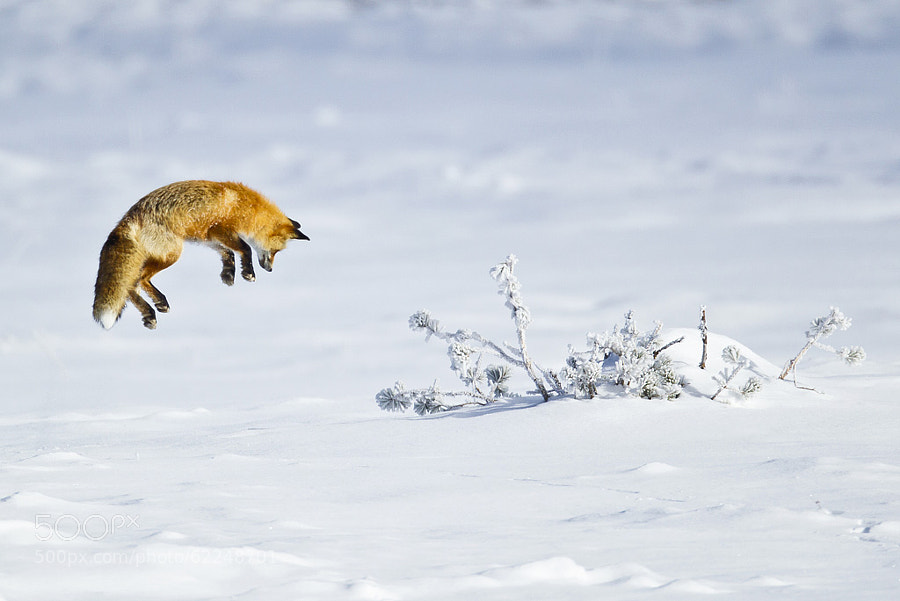 Photograph Red Fox Hunting by D. Robert Franz on 500px