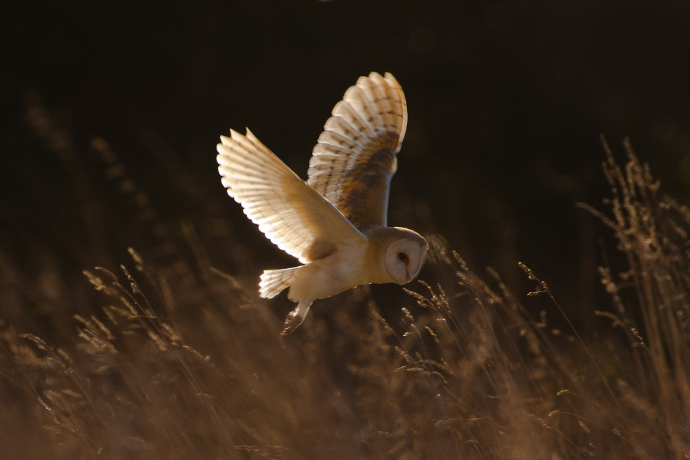 Photograph Barn Owl in the grass by Nigel  Pye on 500px