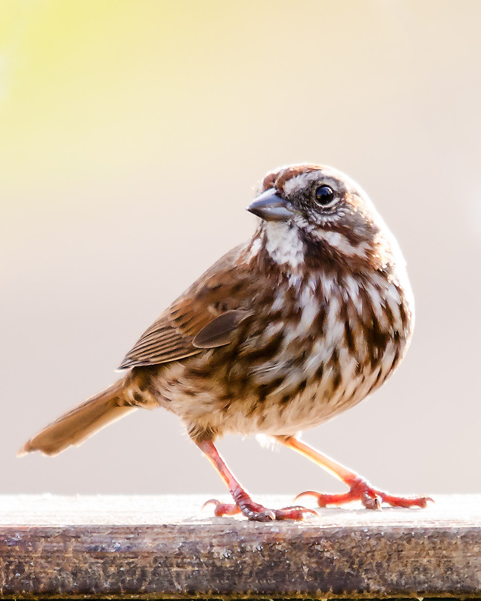 Photograph A Song Sparrow Profile by Mark Bergeron on 500px