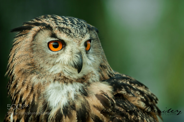 Photograph Piercing Stare by Lawrie Brailey on 500px