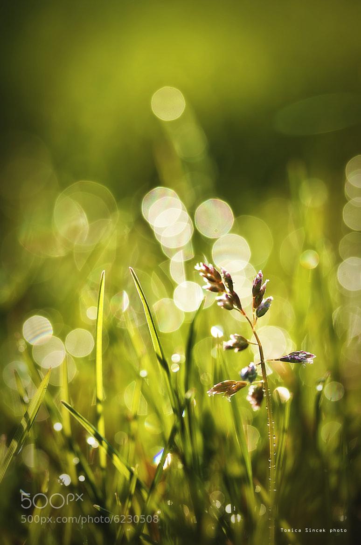 Photograph Grass Flower by Tomica Šincek on 500px