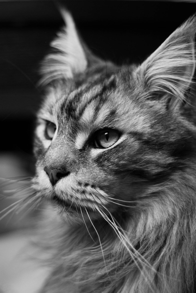 Photograph Main Coon  by K C on 500px