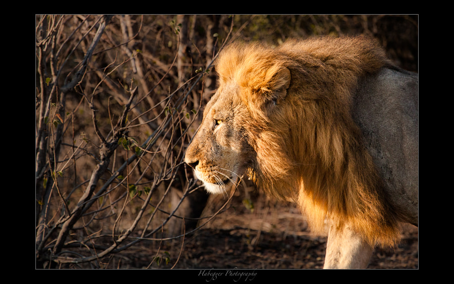 male lion on patrol in the thicket of chobe national park, botswana