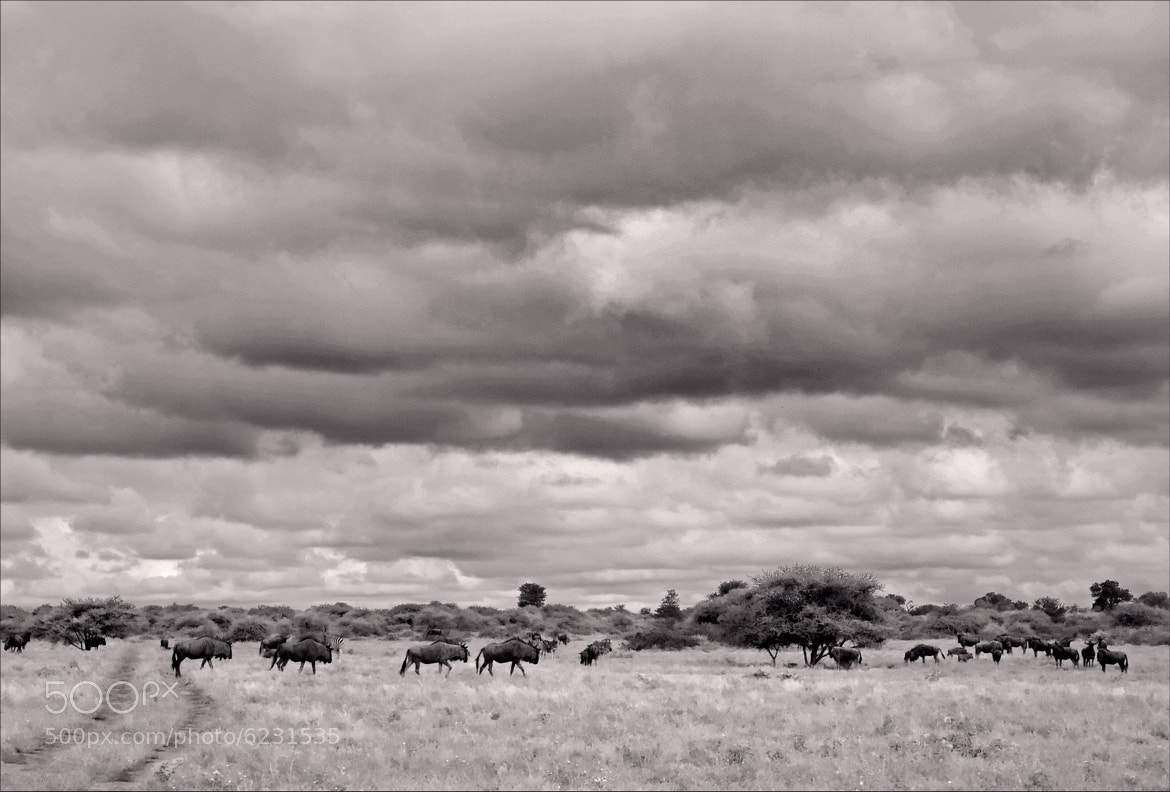 Photograph Wildebeeste under a cloudy sky by Magnus Hird on 500px