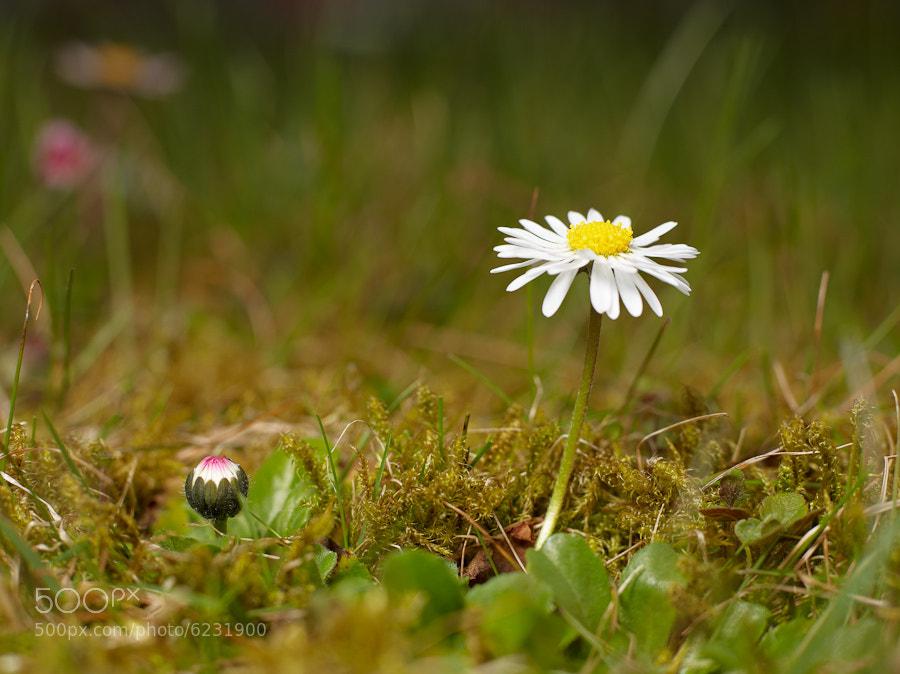 Photograph Daisy (Bellis perennis) by Michael Mährlein on 500px
