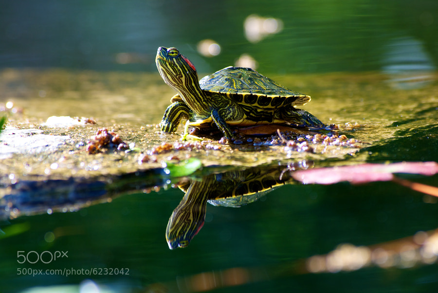 Photograph Red Eared Slider by Steven Salazar on 500px
