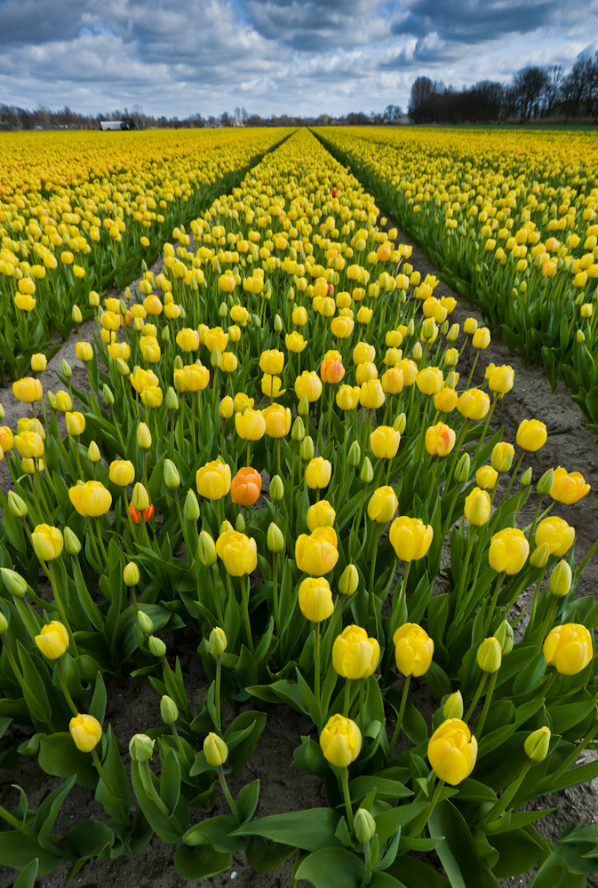 Photograph Tulpen by Peter Byzdra on 500px