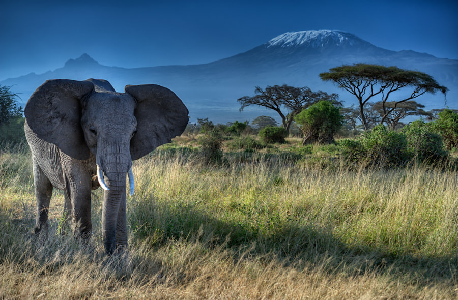 Photograph Elephant and Mt. Kilimanjaro, Amboseli National Park, Kenya by Diana Robinson on 500px