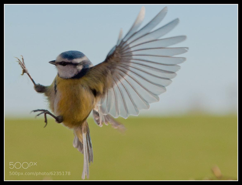 Photograph Blue Tit by Jonny Andrews on 500px