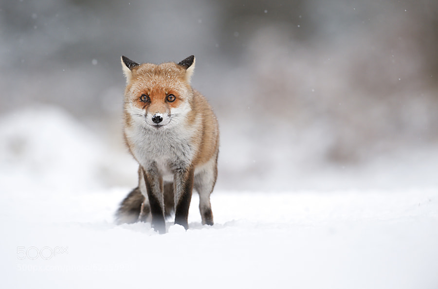 Photograph Red fox in falling snow by Mark Davies on 500px