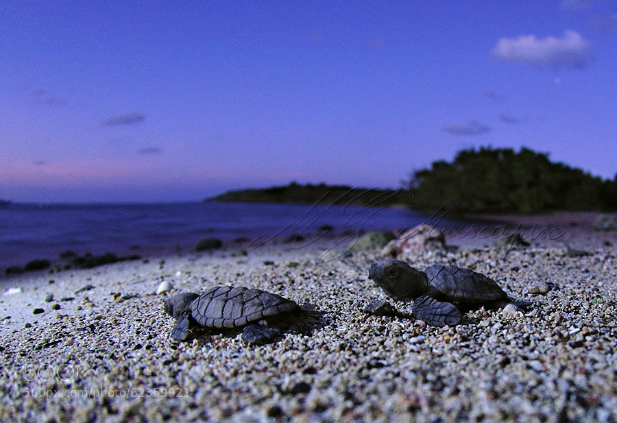 Photograph emergence de tortues by Muscapix MG on 500px